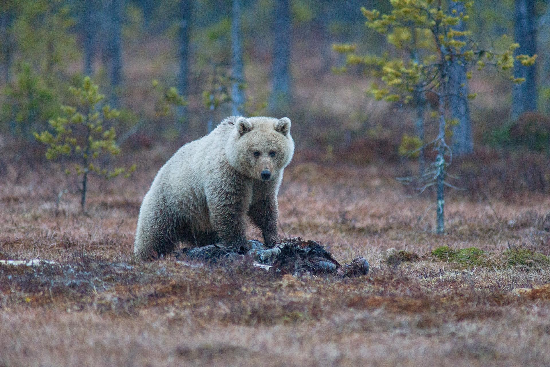 Spana på brunbjörn från gömsle |Foto: Magnus Ström