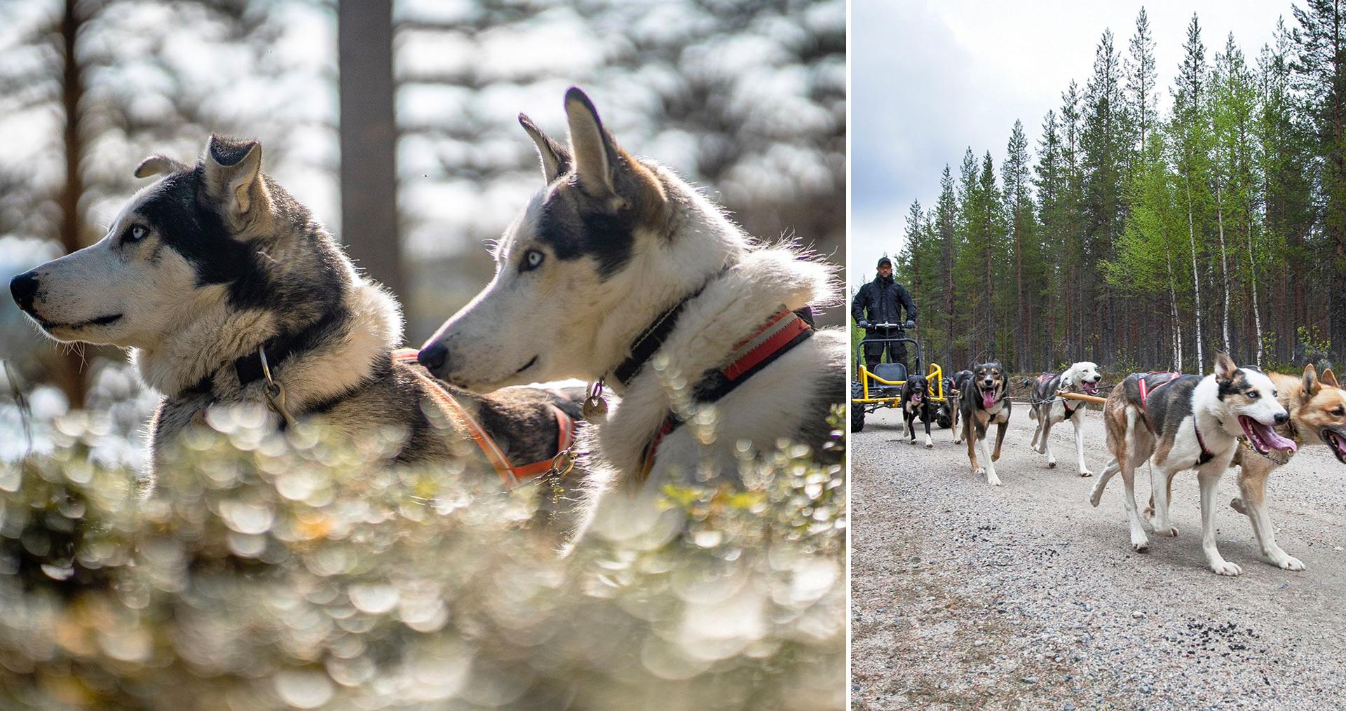 Hundspann med Wild Lapland